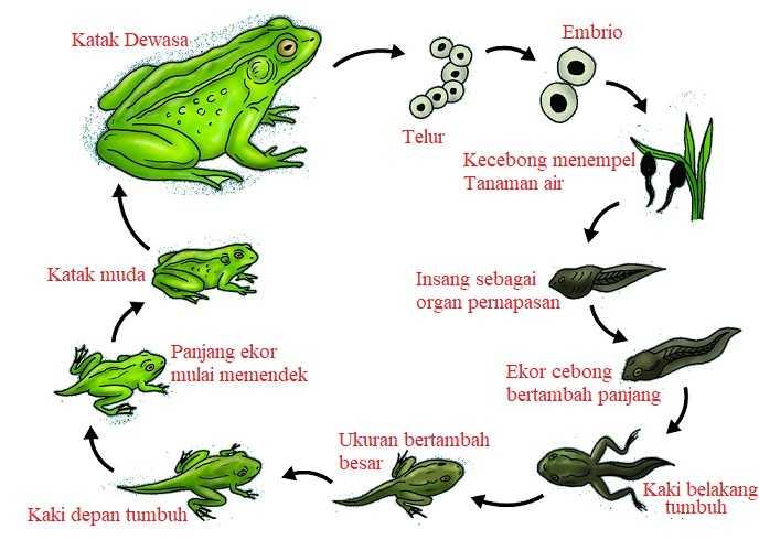 Gambar daur hidup katak