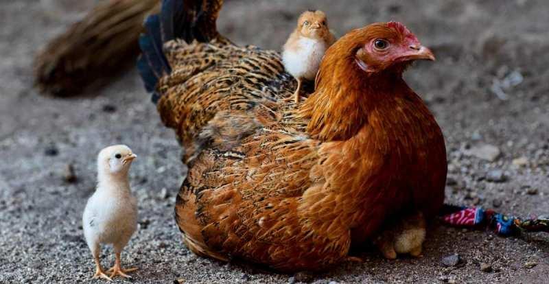 Klasifikasi Ayam